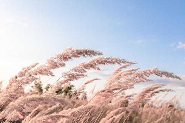 Junco em flor (epigejos calamagrostis) contra um céu azul. foco seletivo. tonificado