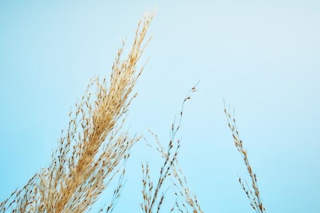 Junco seco, sementes de junco. grama de junco dourada no sol contra o céu azul. conceito minimalista, elegante e moderno.