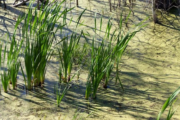 Junco verde crescendo em um pântano, outra grama, água coberta de verde e lentilha-d'água, close-up no verão ou na primavera