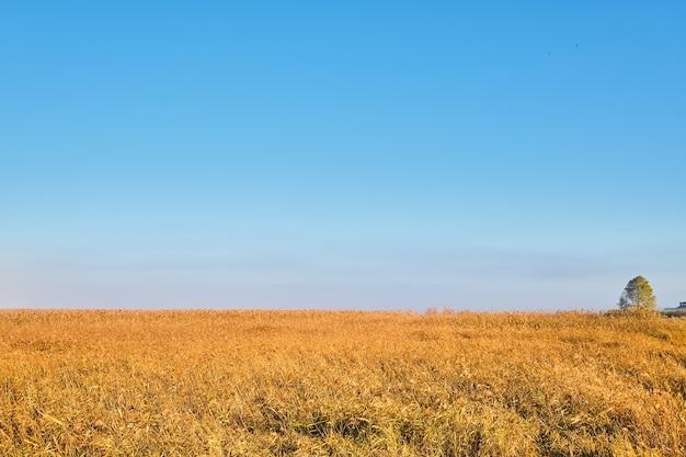Juncos amarelos dourados em contraste com o céu azul claro no verão ou no início do outono.