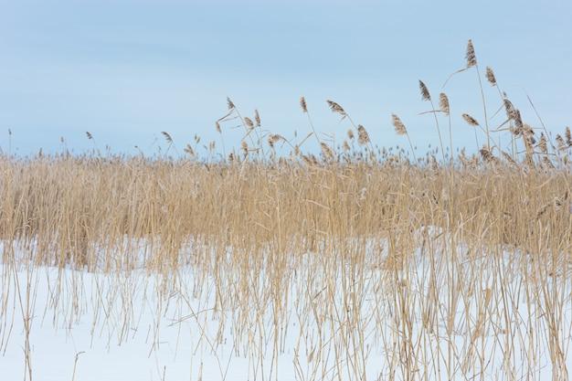 Juncos de grama seca em um lago coberto de neve contra um fundo de inverno natural de céu azul