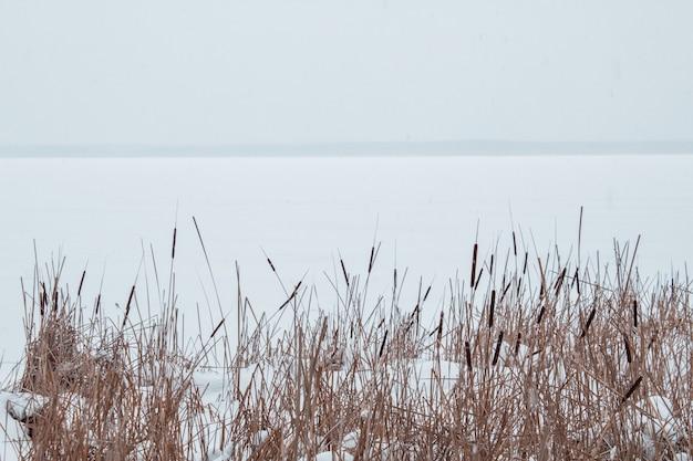Juncos na neve na margem de um rio congelado