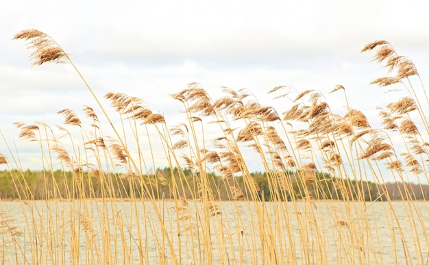 Juncos secos balançam ao vento na margem de um belo lago da floresta.