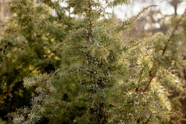 Juniper de jardim japonês anão - nome latino - juniperus procumbens nana.