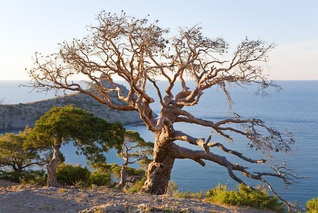 Junípero murcho e a costa da reserva