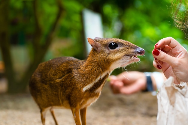 Kanchil é um lindo bebê cervo dos trópicos. o veado rato é um dos animais mais incomuns