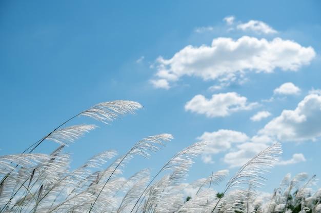 Kans grass, saccharum espontâneo ao vento
