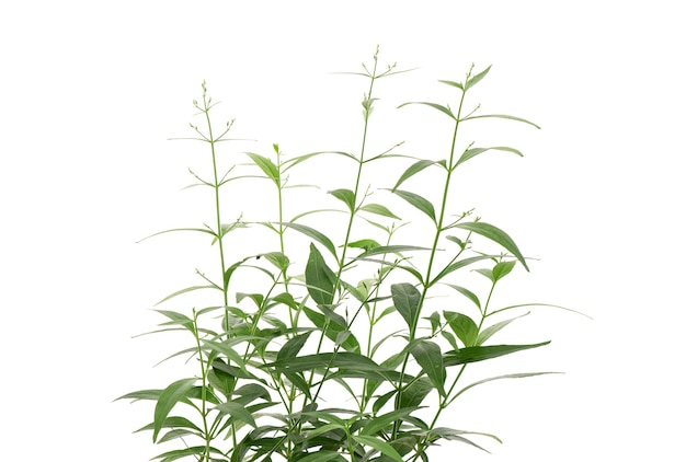 Kariyat ou andrographis paniculata, folhas verdes do ramo isoladas no fundo branco.