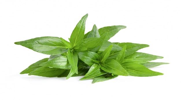 Kariyat ou andrographis paniculata verde folhas em um branco