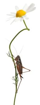 Katydid de escudo feminino - platycleis tessellata