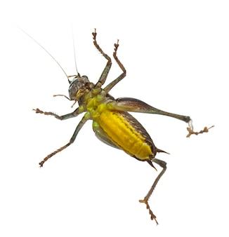Katydid-escudo-costas masculino - platycleis tessellata