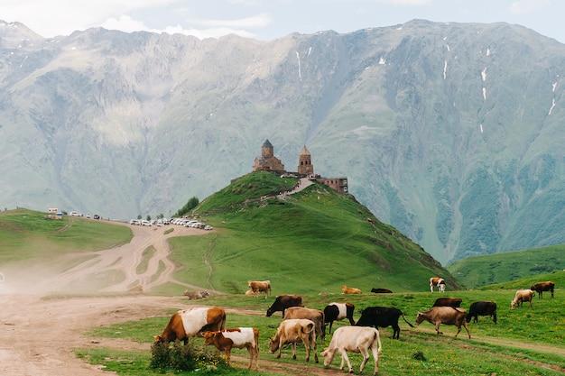 Kazbegi, geórgia: igreja da trindade gergeti (tsminda sameba) com vacas na frente, igreja da santíssima trindade perto da aldeia de gergeti na geórgia, sob o monte kazbegi