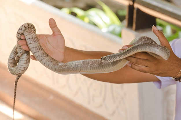 Keelback nas mãos dos homenskeelback uma cobra pequena que não é venenosa, mas é feroz.