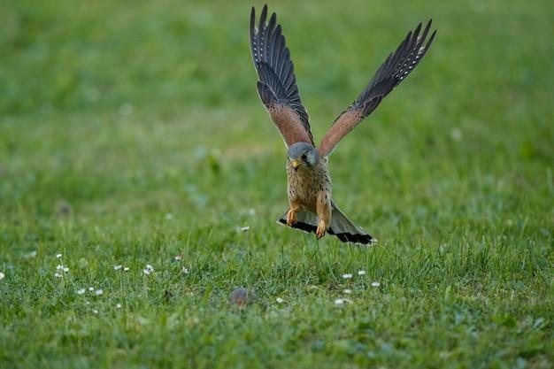 Kestrel comum. aves de rapina falco tinnunculus Foto gratuita
