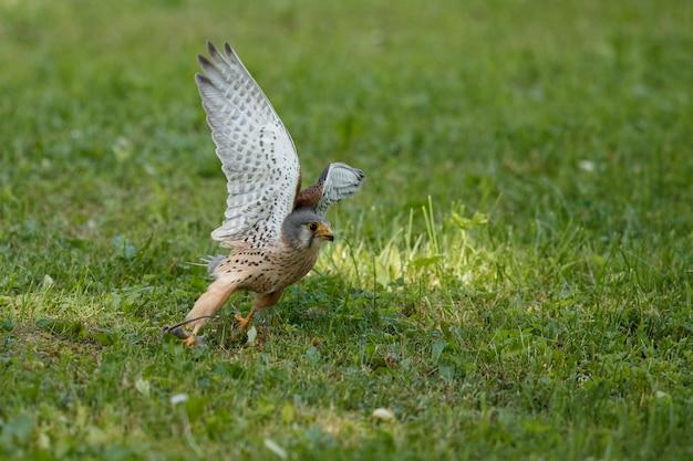 Kestrel comum. aves de rapina falco tinnunculus