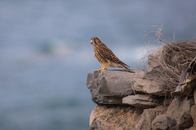 Kestrel (falco tinnunculus) fêmea em tenerife.