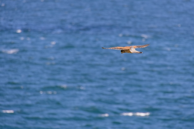 Kestrel (falco tinnunculus) pairando sobre os penhascos em porthgwidden à procura de presas
