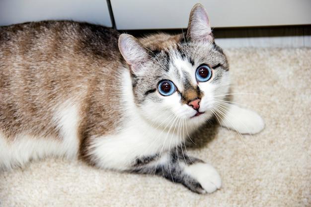 Ketten de cabelo curto americano no sofá azul com cara engraçada. um gato com grandes olhos azuis
