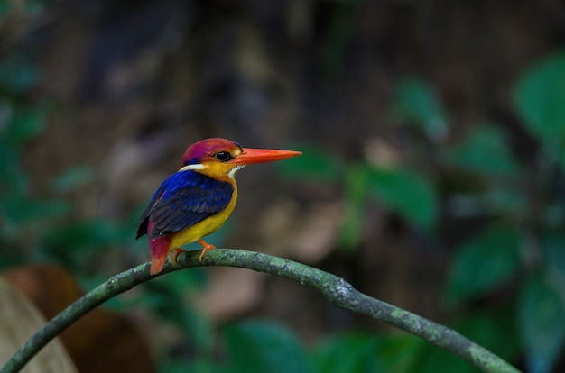 Kingfisher de costas preto ou martim-pescador-anão oriental empoleirado no galho