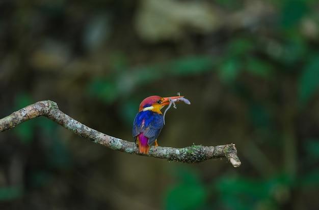 Kingfisher preto apoiado ou martim-pescador anão oriental