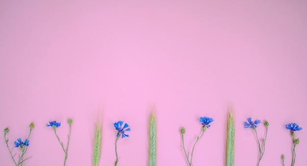 Knapweeds azuis e espiga de trigo deite em uma linha no fundo rosa