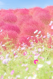 Kochia e cosmos arquivaram hitachi ibaraki japan