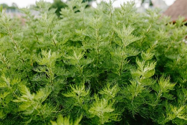 Kohia close-up, belo arbusto verde