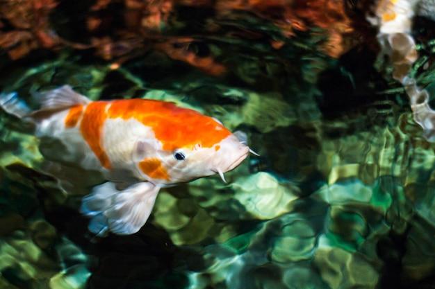 Koi carp, peixe grande japonês, debaixo d'água no jardim.