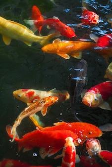 Koi, carpa chique estão nadando acima da superfície da água