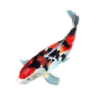 Koi crap fish pintura em aquarela isolada