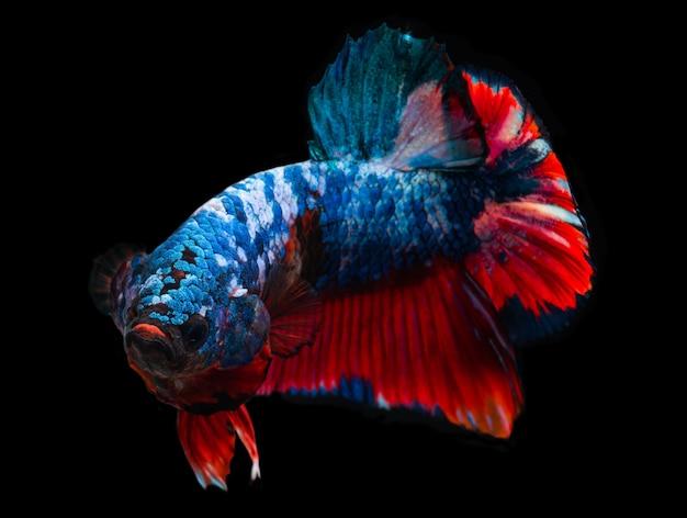 Koi galáxia fantasia peixe betta.
