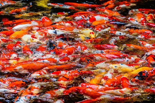 Koi na lagoa para a imagem de fundo