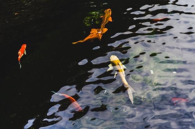 Koi peixe nadando em uma lagoa no jardim