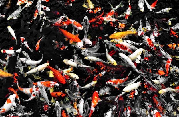 Koi peixe no lago do jardim