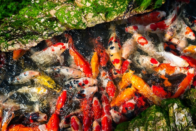 Koi pesca natação em grupo.