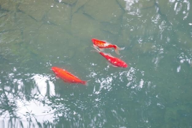 Koi vermelho brilhante na água cinza azul acima de fundo de pedra.