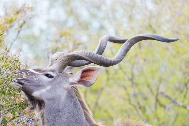 Kudu masculino no mato