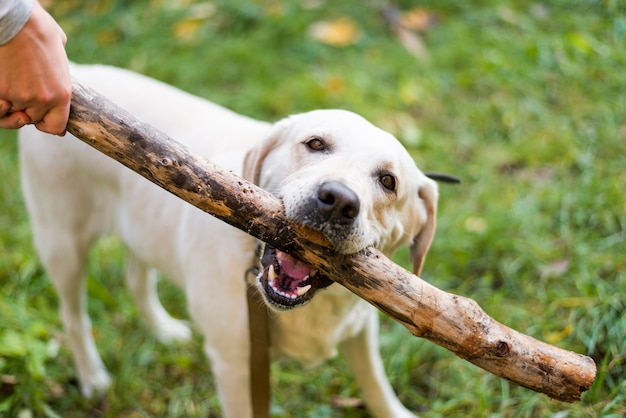 Labrador bonito jogando buscar ao ar livre