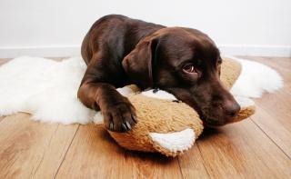 Labrador cão carinho com urso de pelúcia