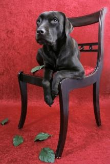 Labrador cão na cadeira
