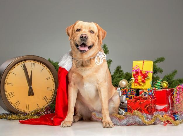 Labrador com chapéu de papai noel e uma guirlanda de ano novo e presentes.