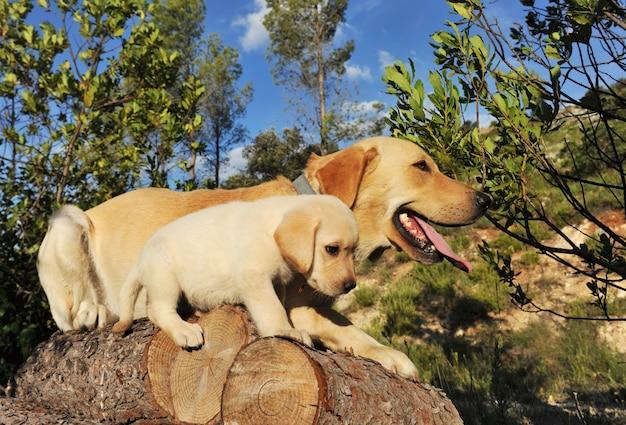 Labrador filhote e adulto