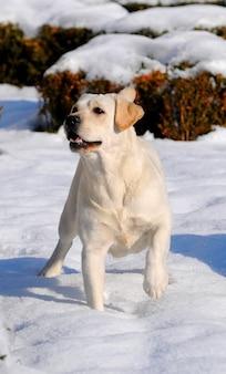 Labrador na neve na estação do inverno.