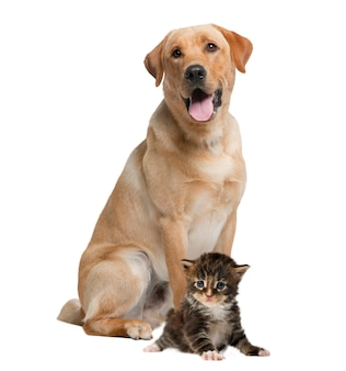 Labrador ofegante e gatinho, isolado no branco