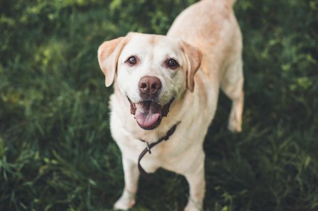 Labrador olhando para a câmera esperando por algo em um parque na grama