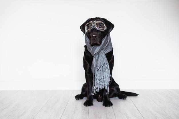 Labrador preto bonito em casa que veste óculos de proteção do aviador e lenço cinzento. conceito de viagens