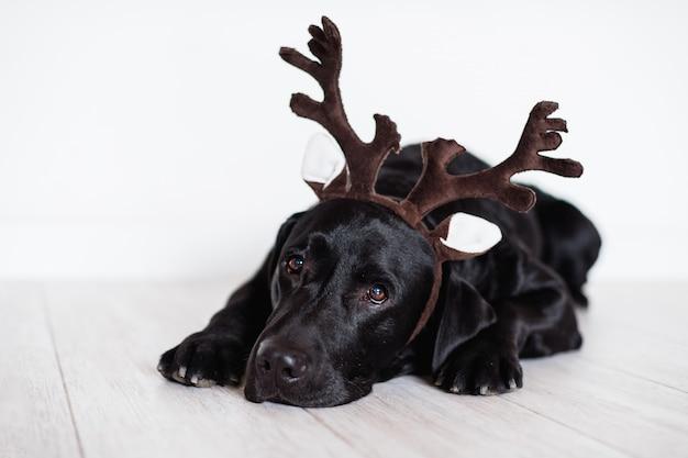 Labrador preto bonito em casa usando chifres de rena. conceito de natal
