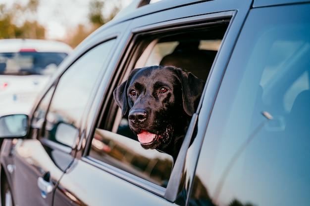 Labrador preto bonito em um carro pronto para viajar. fundo da cidade. observando pela janela ao pôr do sol. conceito de viagens
