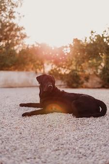 Labrador preto deitado no chão ao pôr do sol