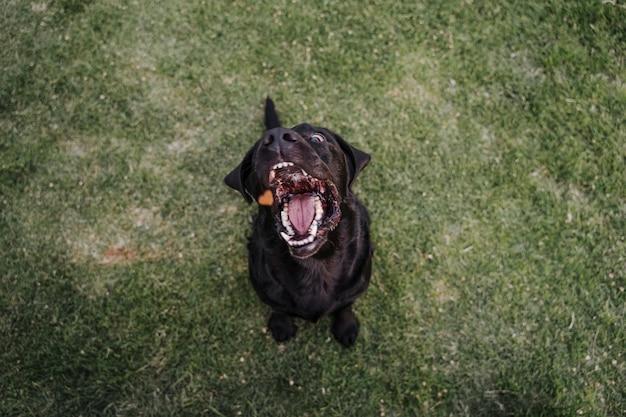 Labrador preto lindo sentado na grama em um parque, pulando comendo guloseimas. diversão ao ar livre. vista do topo